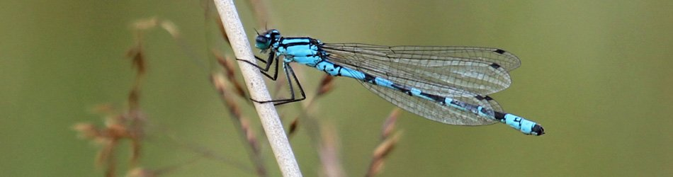 One of the many damselflies seen at Mingarry Lodges