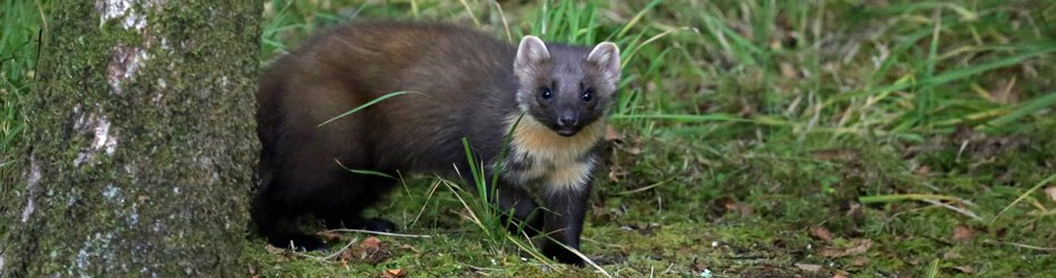 Pine marten at Mingarry Lodges