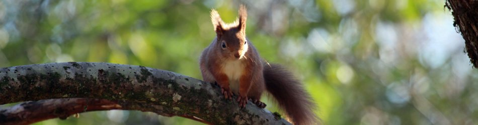 A red squirrel at Mingarry Lodges