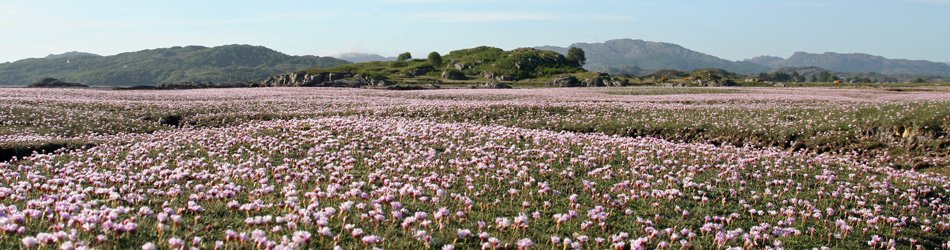 The sublime hues of thrift at Kentra Bay in June