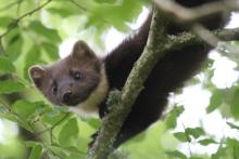 A pine marten in the woods behind Mingarry Lodges