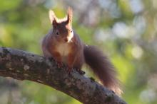 Red squirrel in the grounds at Mingarry Lodges