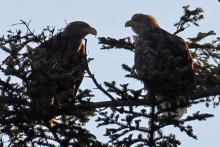 A pair of white-tailed eagles