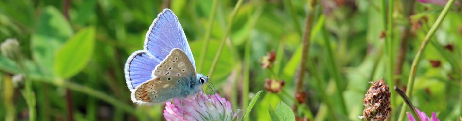 A common blue butterfly at Mingarry Lodges