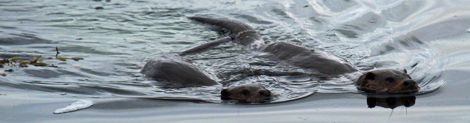 Otters can be seen in Loch Sunart and Loch Moidart
