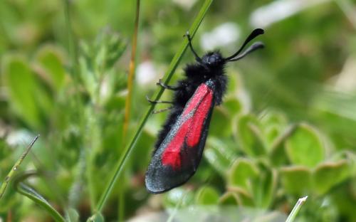 Transparanet burnet moth