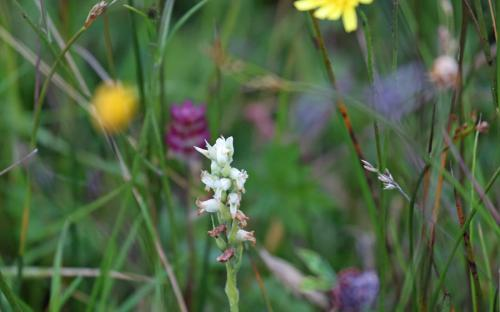 Irish Lady's-tresses orchid