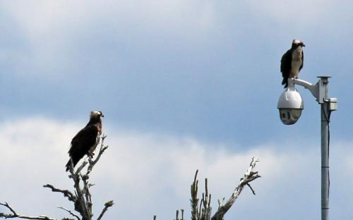Ospreys at Loch Garten