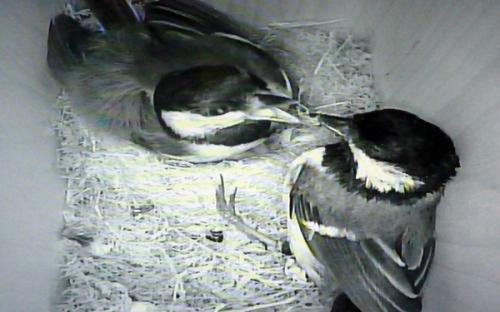 Mutual feeding between the adult great tits - 13th June