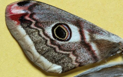 A close up of a wing of a female emperor moth
