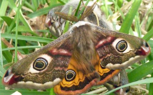A male emperor moth