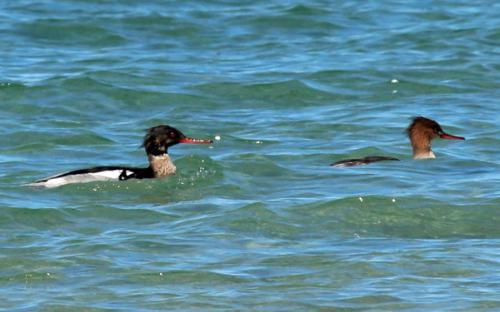 Male and female red breasted merganser