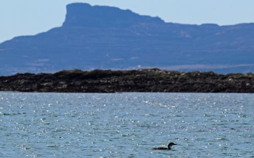 A great northern diver with the Isle of Eigg behind