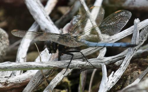 A male keeled skimmer dragonfly