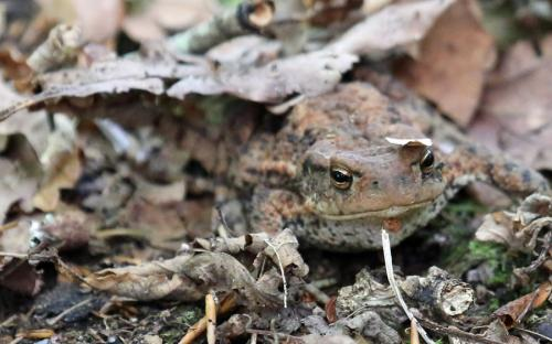 A toad hiding under the leaves