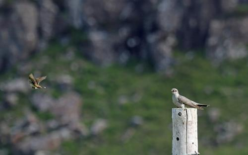 Cuckoo and pipit at Glengorm