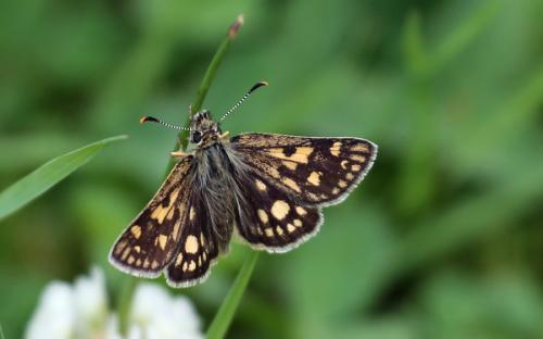 Chequered skipper - 23 June 2015