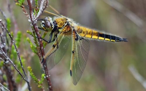 Four-spotted chaser - 23 June 2015
