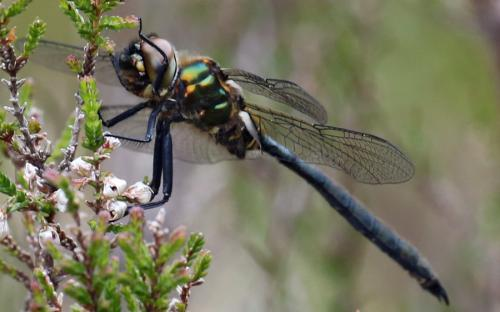 Male northern emerald dragonfly - 23 June 2015