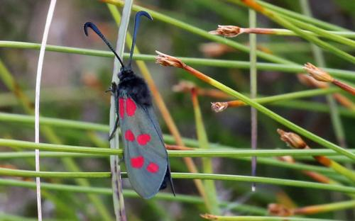 Six-spot burnet moth - 01 July 2015