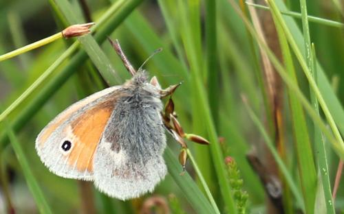 Small heath butterfly - 01 July 2015