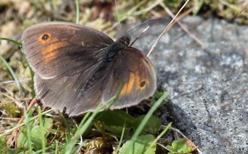 Meadow brown butterfly - 06 July 2015