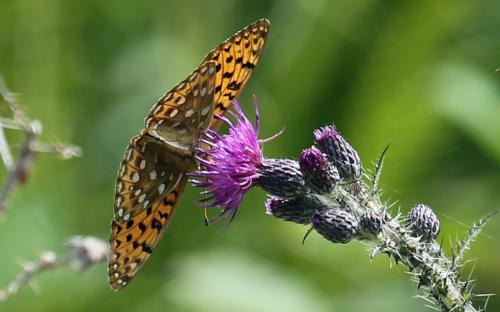 Dark green fritillary - 06 July 2015