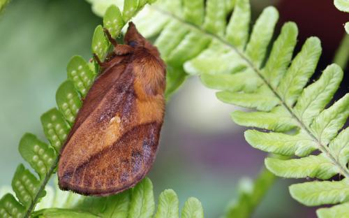 Drinker moth - 02 July 2015