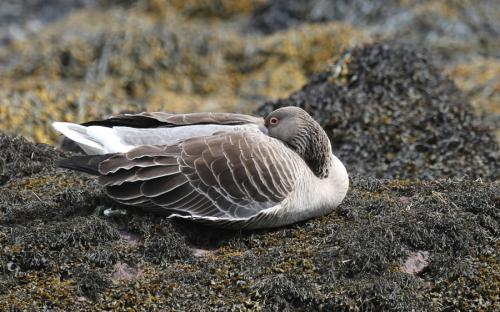 Grey lag goose - taking a nap, or is it...