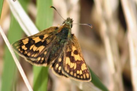 Our first chequered skipper sighting in High Mingarry