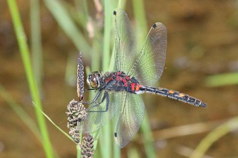 Our first encounter with a white-faced darter dragonfly in Ardnamurchan