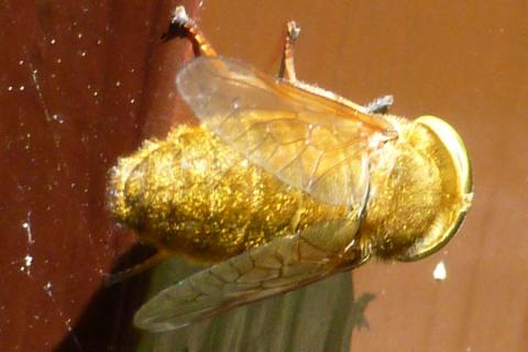 Our first sighting of the Golden Horse Fly (Atylotus fulvus) at Mingarry Lodges