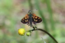 Chequered skipper butterfly in Mingarry