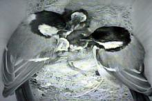 The two adult great tits feeding their four chicks - 20th June