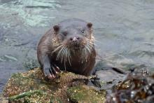 An otter spotted in March 2017 outside The Bright Water Centre in Kyleakin
