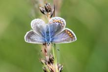 A female common blue butterfly