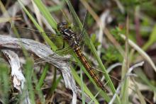 A female keeled skimmer dragonfly