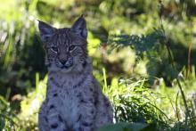 Lynx at The Highland Wildlife Park