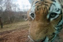 close encounters of the tiger kind
