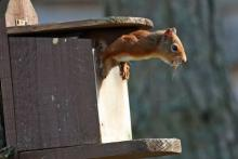 A red squirrel in a box