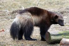 A wolverine - a mustelid like otters, badgers and pine martens
