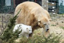 The first polar bear cub born in the UK for 25 years