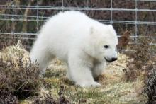 A wee polar bear at The Highland Wildlife Park
