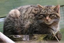 A mature Scottish Wildcat -The Highland Tiger