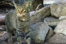 A young Scottish Wildcat -The Highland Tiger