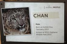 Chan - the male snow leopard