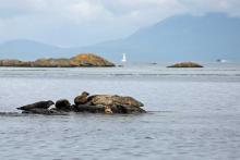 Seals on the skerries leaving Arisaig on the way to The Small Isles