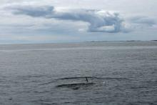 A first sighting of a Minke whale from The MV Shearwater