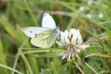 A green veined white butterfly on white clover