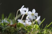 Wood sorrel growing on an old black house wall